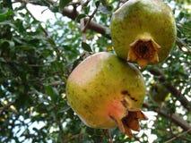 Het fruit van de granaatappel Royalty-vrije Stock Foto's