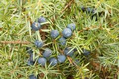 Het fruit van de jeneverbes Royalty-vrije Stock Foto's