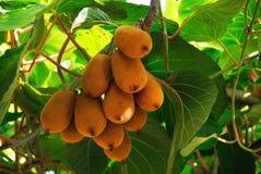 Het fruit van de kiwi op een tak Stock Fotografie