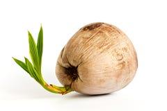 Het fruit van de kokosnoot aan boom Stock Foto