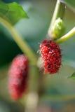 Het fruit van de moerbeiboom Royalty-vrije Stock Afbeeldingen