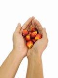 Het fruit van de oliepalm op hand Stock Foto