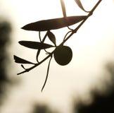 Het fruit van de olijf en bladerensilhouet Royalty-vrije Stock Foto's
