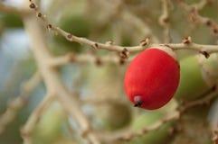 Het fruit van de palm. Stock Afbeelding