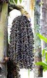 Het fruit van de palm Royalty-vrije Stock Fotografie