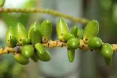 Het fruit van de palm Royalty-vrije Stock Afbeelding
