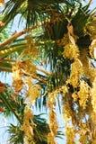 Het fruit van de palm Royalty-vrije Stock Foto
