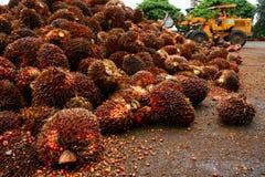 Het Fruit van de Palm van de olie Royalty-vrije Stock Foto's