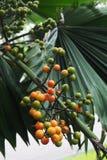 Het fruit van de palmventilator stock afbeelding