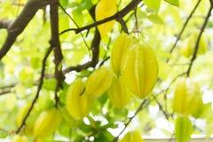 Het fruit van de sterappel of Sterfruit Stock Afbeeldingen