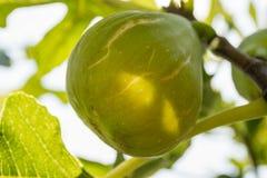 Het fruit van de vijgeboom Stock Foto
