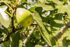Het fruit van de vijgeboom Stock Fotografie