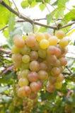 Het fruit van druiven Royalty-vrije Stock Afbeelding