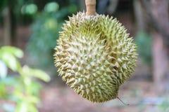 Het fruit van Durian Stock Afbeelding