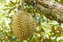 Het fruit van Durian Royalty-vrije Stock Afbeeldingen