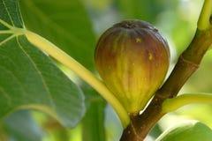 Het fruit van fig. op de boom Stock Afbeeldingen