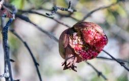 Het fruit van open granaatappel Stock Afbeeldingen