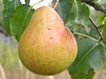 Het fruit van perenbladluis Royalty-vrije Stock Foto's