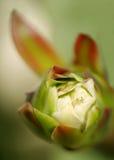 Het fruit van Pitahaya Stock Foto's