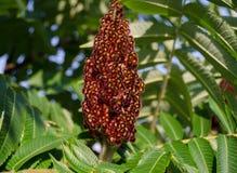 Het fruit van Rhustyphina Tiger Eyes Royalty-vrije Stock Afbeelding