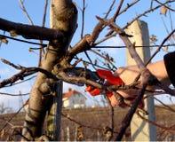 Het fruitboom van de besnoeiing stock afbeelding