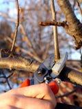 Het fruitboom van de besnoeiing Stock Foto