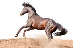 Het galopperende paard van de baai dat op wit wordt geïsoleerdm Royalty-vrije Stock Afbeeldingen