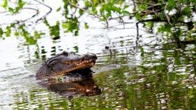 Het Gatorsfokken in het water van het moerasland, Florida Stock Foto