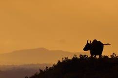Het gaur-sluiten omhoog in de aard Stock Afbeeldingen