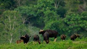 Het gaurs-sluiten omhoog in de aard Stock Foto