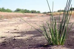 Het geïsoleerde Gras van de Struik Stock Foto