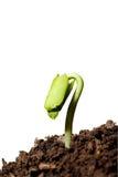 Het geïsoleerde Nieuwe leven-installatie groeien van zaad op witte achtergrond Royalty-vrije Stock Afbeeldingen