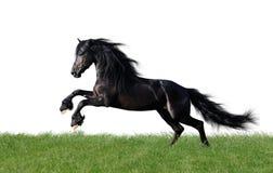 Het geïsoleerdec friesian paard spelen op het gras Royalty-vrije Stock Foto