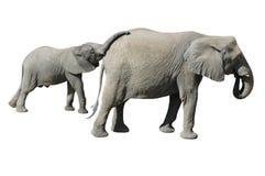 Het Geïsoleerded Kalf en de Moeder van de olifant royalty-vrije stock fotografie