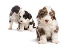Het gebaarde puppy van de Collie, 6 weken oud, het zitten Stock Fotografie