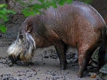 Het gebaarde varken van Bornean stock foto's