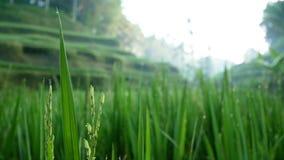 Het gebied die van het rijstterras in de wind blazen Ubud bali indonesië stock video