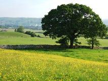 Het gebied en de boom van de boterbloem Stock Foto's