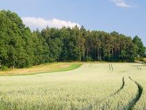 Het gebied en het bos van de rogge in zonlicht Royalty-vrije Stock Fotografie