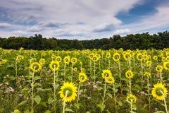 Het Gebied Maryland van de de zomerzonnebloem stock fotografie