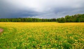 Het gebied met gele paardebloemen na een onweersbui Stock Foto