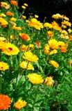 Het gebied met mooie gele bloemen Stock Foto