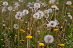 het gebied met paardebloemen sluit omhoog in de lente op een zonnige dag stock afbeeldingen
