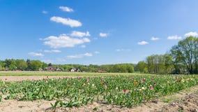 Het gebied met tulpen Royalty-vrije Stock Foto
