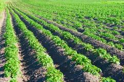 Het gebied van aardappels Stock Fotografie