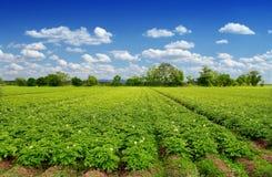 Het gebied van aardappels Royalty-vrije Stock Afbeeldingen