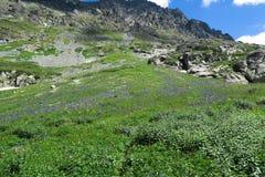 Het gebied van aquilegia bloeit op de achtergrond van bergen stock afbeeldingen