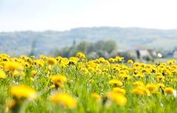 Het gebied van bloemen - paardebloemen Royalty-vrije Stock Foto's