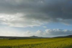 Het gebied van Canola Stock Fotografie