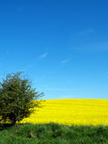 Het gebied van Canola en blauwe hemel Stock Afbeeldingen